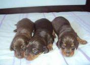 Filhotes de teckel miniatura machos r$360,00 e fêmeas r$450,00 - 011-2574-7007