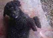 Poodle preto encontrado