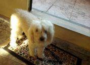 Procura -se cachorra poodle branca