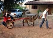 Aluguel de mini charrete mini boi, mini cavalo, mini burro