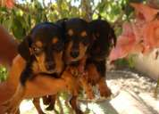 Basset anão - dachshund - teckel - valor 250