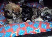 A venda lindos filhotes de lhasa apso (machos)