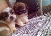 Vendo lindos filhotes,lhasa,poodle maltes