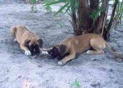 Vendo lindos filhotes de boxer com pedigree