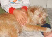 Procura-se cadela idosa amarela em são bernardo do campo 2988-2333